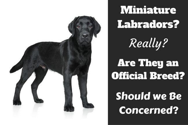 Miniature labrador? Do they really exist?