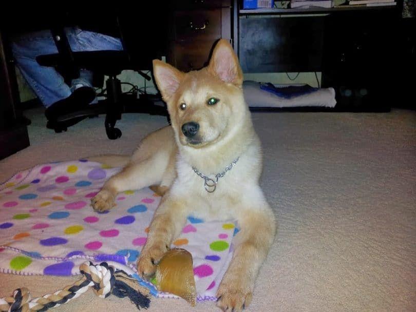 Chusky dog playing
