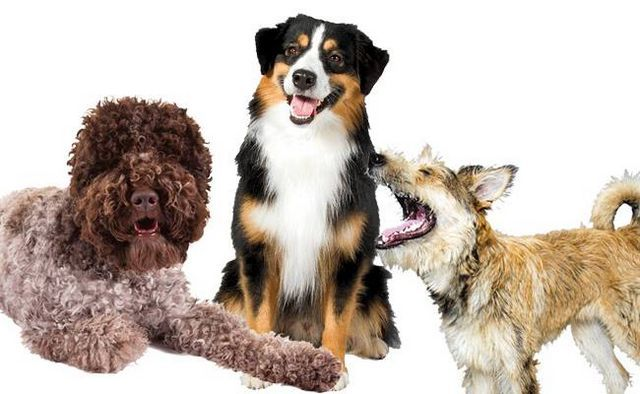 More to love! Akc welcomes 3 new dog breeds into the registry