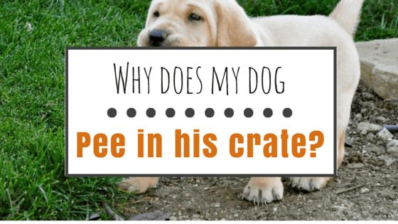 My dog pees in his crate: what should I do?
