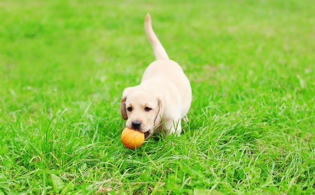 Lab puppy playing ball on lush grass