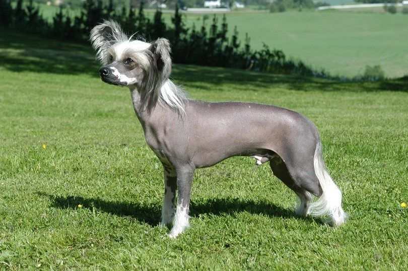 Non shedding dogs: breeds to have around if you're allergic