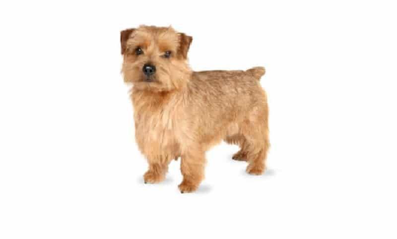 Norfolk terrier