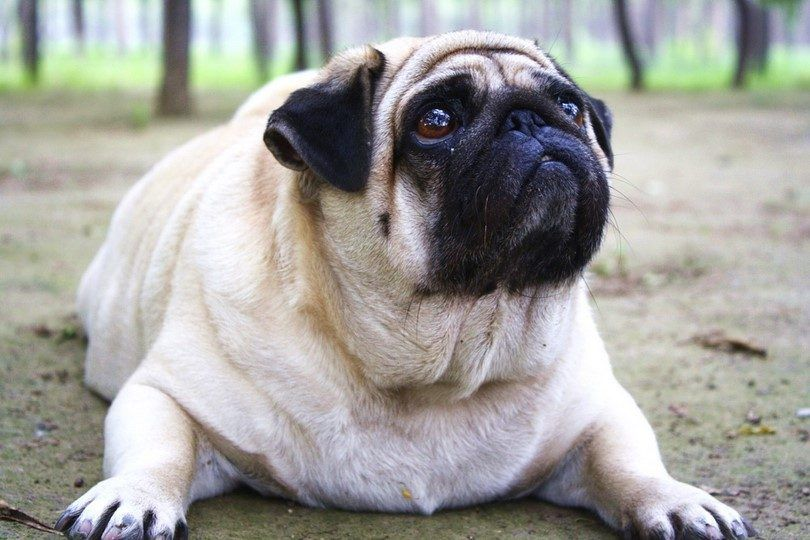 Overweight dog: signs and solutions