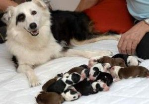 Panting in dogs after giving birth