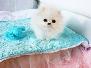 Paris hilton buys $13,000 pomeranian puppy
