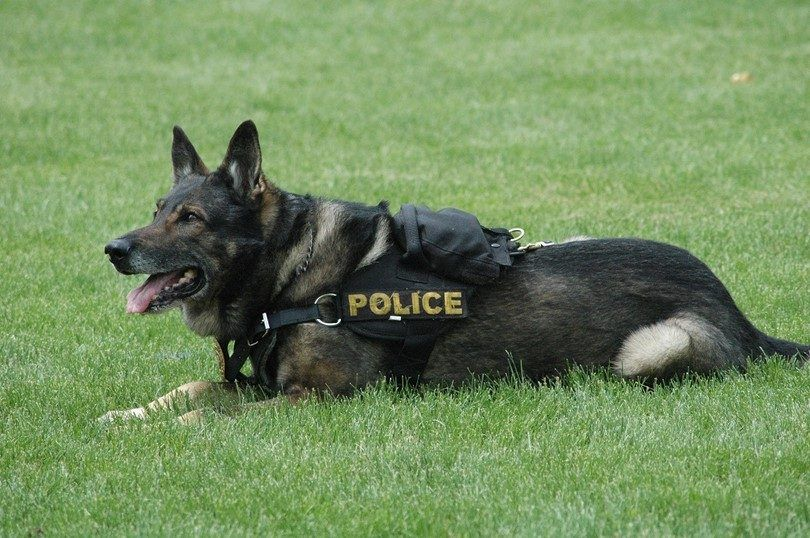 Police dog breeds: canines catching the bad guys