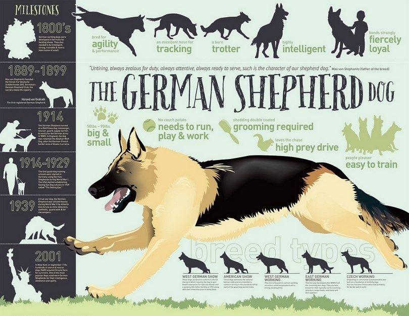 The German Shephered dog