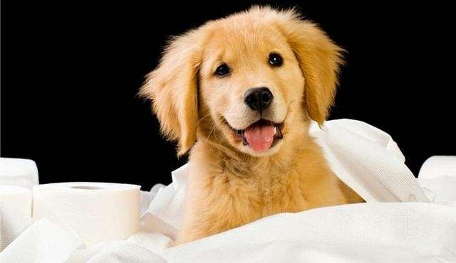 Potty training a puppy in an apartment: a quick how to