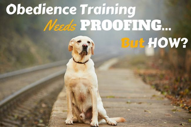 Proofing your labrador training is essential – why and how?