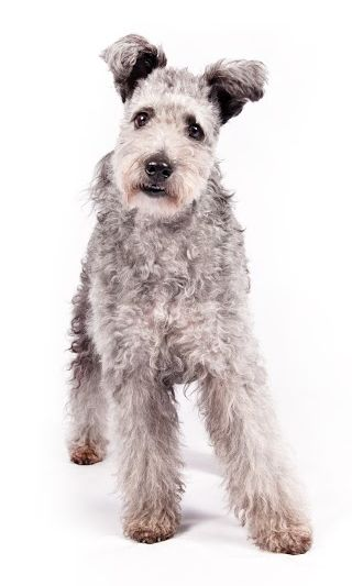 Pumi joins the pack as akc's newest recognized breed