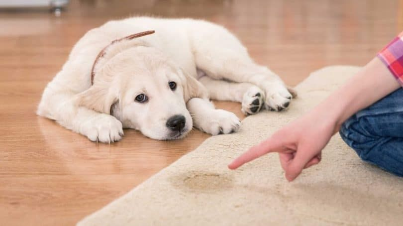 Teach your dog to use training pads