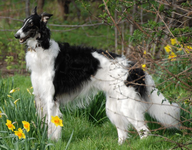 Russian dog breeds: top breeds that will impress you