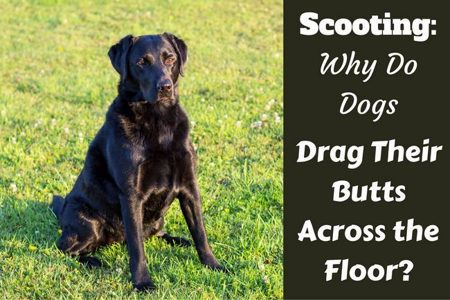 Scooting: why do dogs drag their butts across the floor?