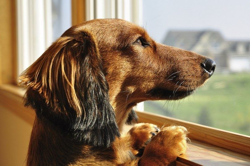 Separation anxiety in dogs: transform your panicked pooch into a confident canine