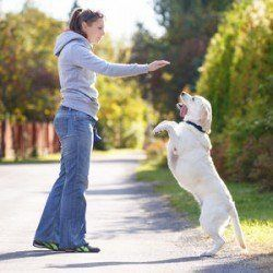 A lady training her labrador who is up on their hind legs