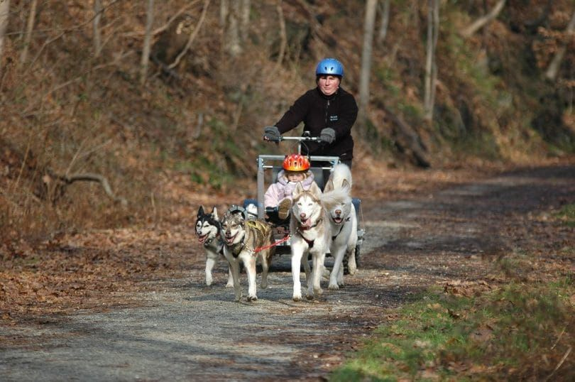 Young sled dogs training