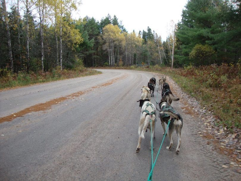 Sled dogs training