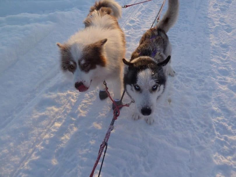 Siberian huksy on the right