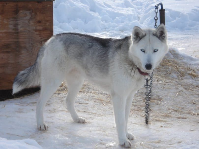 The Seppala Siberian sled dog
