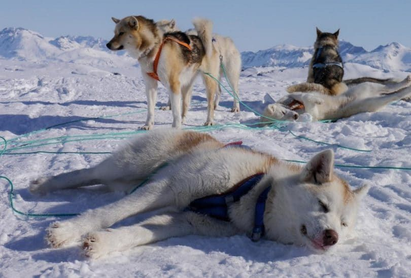Greenland dog sled expedition