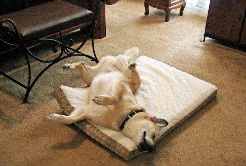 Dog running in sleep