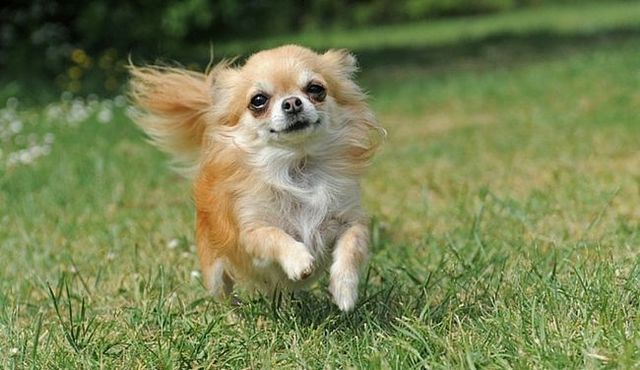 Small and sweet: a look at the shih tzu chihuahua mix