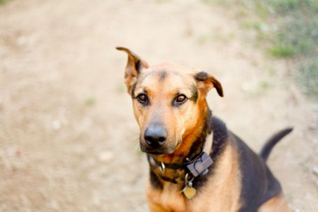 Study shows 'shock collars' a risk to dog's behavioral well-being