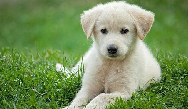 Sweet and soothing: an in-depth look at the miniature golden retriever