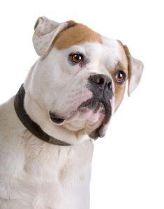 The awesome american bulldog