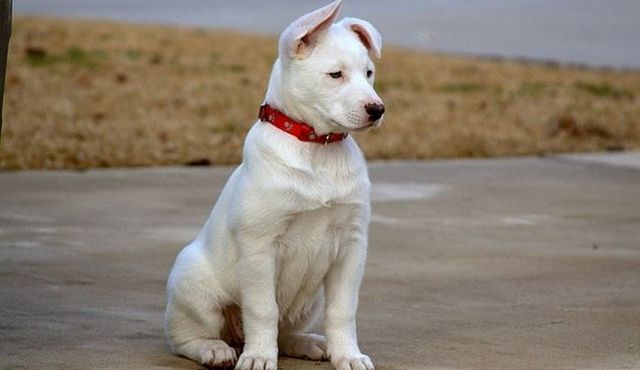 The best of both worlds: the husky lab mix in brief