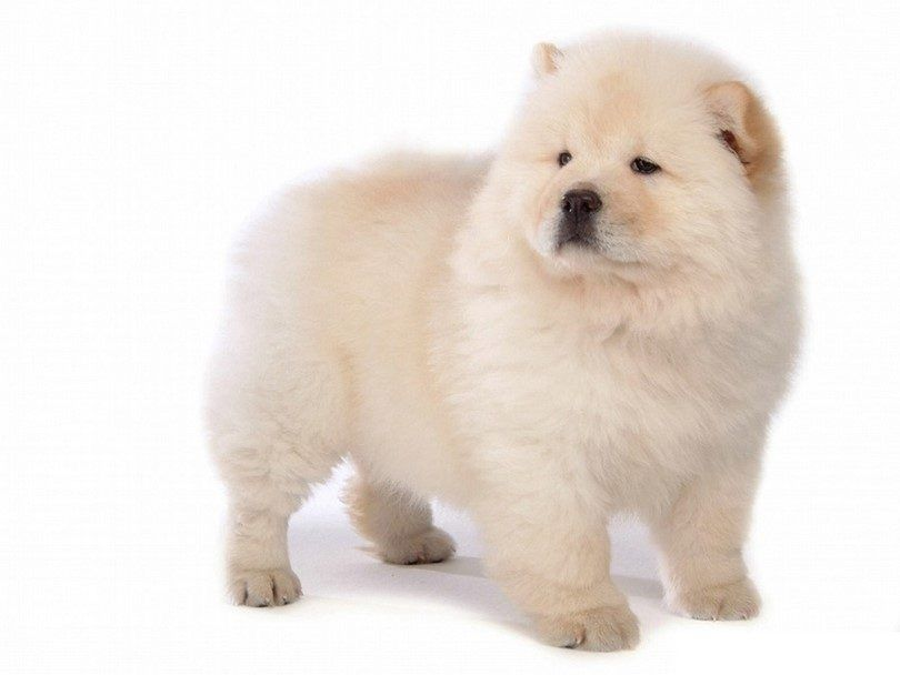 The chow chow
