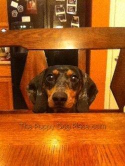 The friendly dachshund