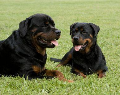 The rottweiler - loyal & loving