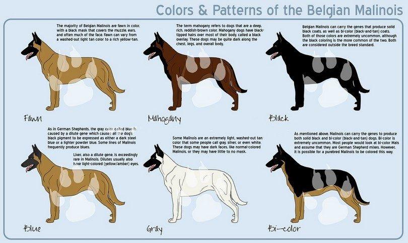 Belgian malinois colors
