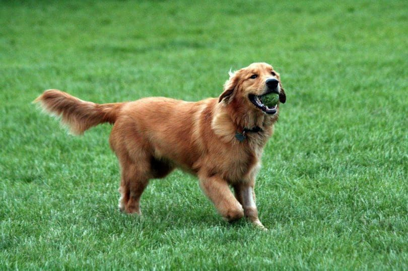 Retriever playing