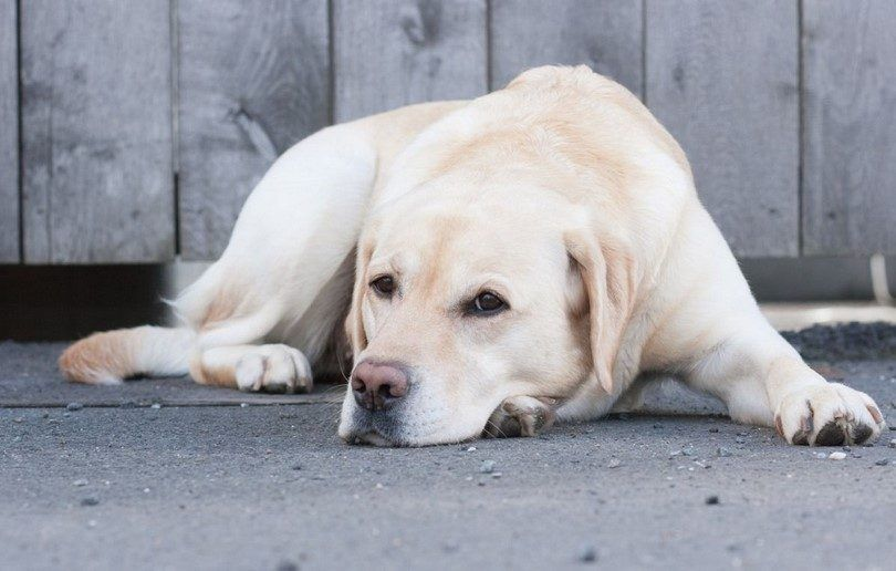 Tumors in dogs: most common canine tumors