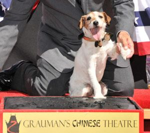 Uggie leaves pawprints at hollywood grauman's chinese theatre