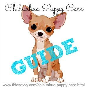 Ultimate chihuahua puppy care guide
