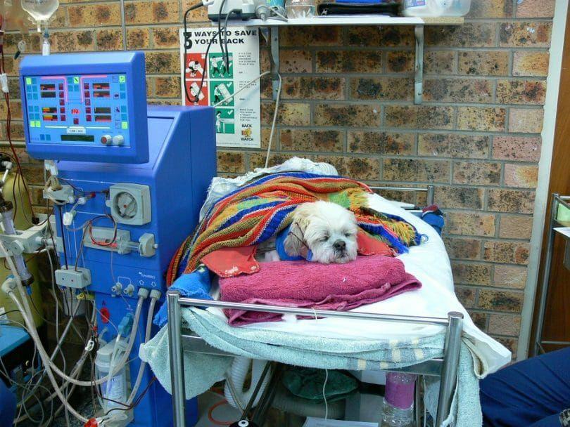 Dog survives renal failures