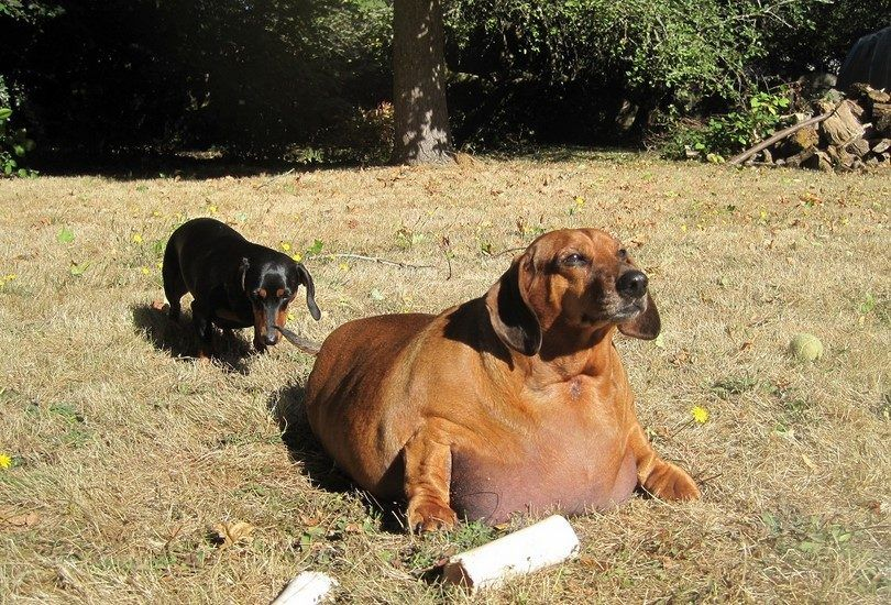 Normal and obese dog
