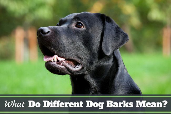 What do different dog barks mean? Learn what your lab is saying!