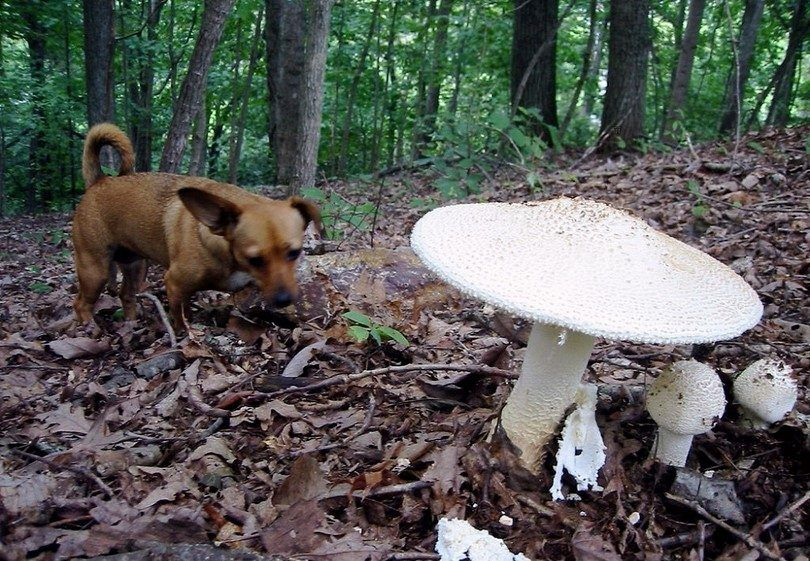 Wild mushrooms and dog