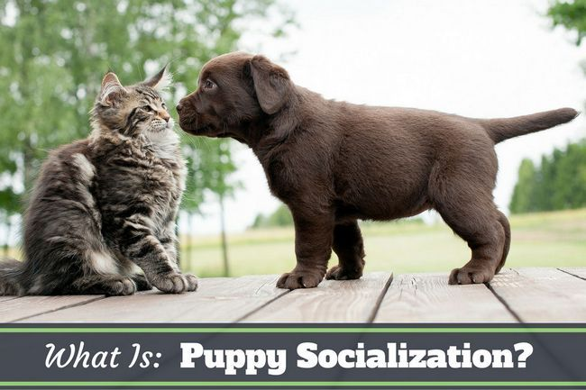 What is puppy socialization? Why is it so important?