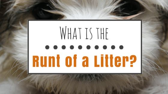 What is the runt of a litter?