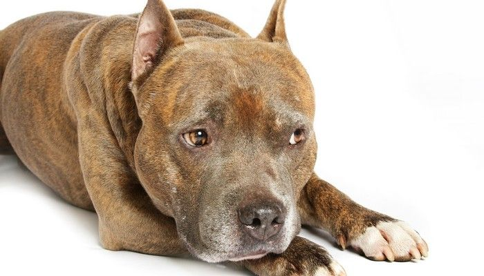 What is this pit bull doing to fight the breed`s bad rap
