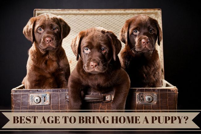 Best age to bring a Labrador puppy home: 3 chocolate Labrador pups in a trunk