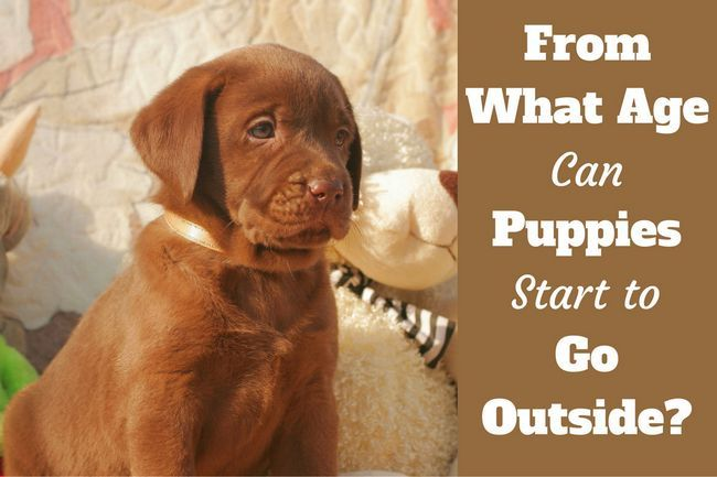 When can puppies go outside written beside a cute choc puppy sitting at home next to a teddy bear