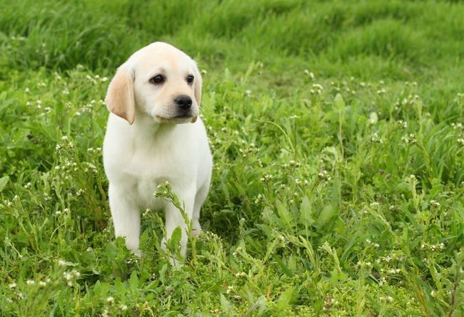 Yellow labrador puppy sitting in lush, long green grass