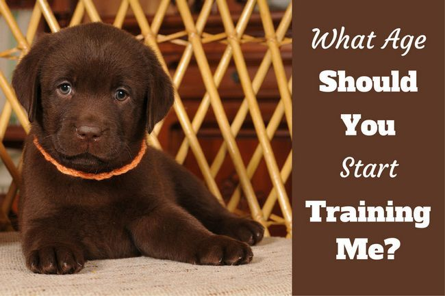 When to start training a puppy? What age can you begin?